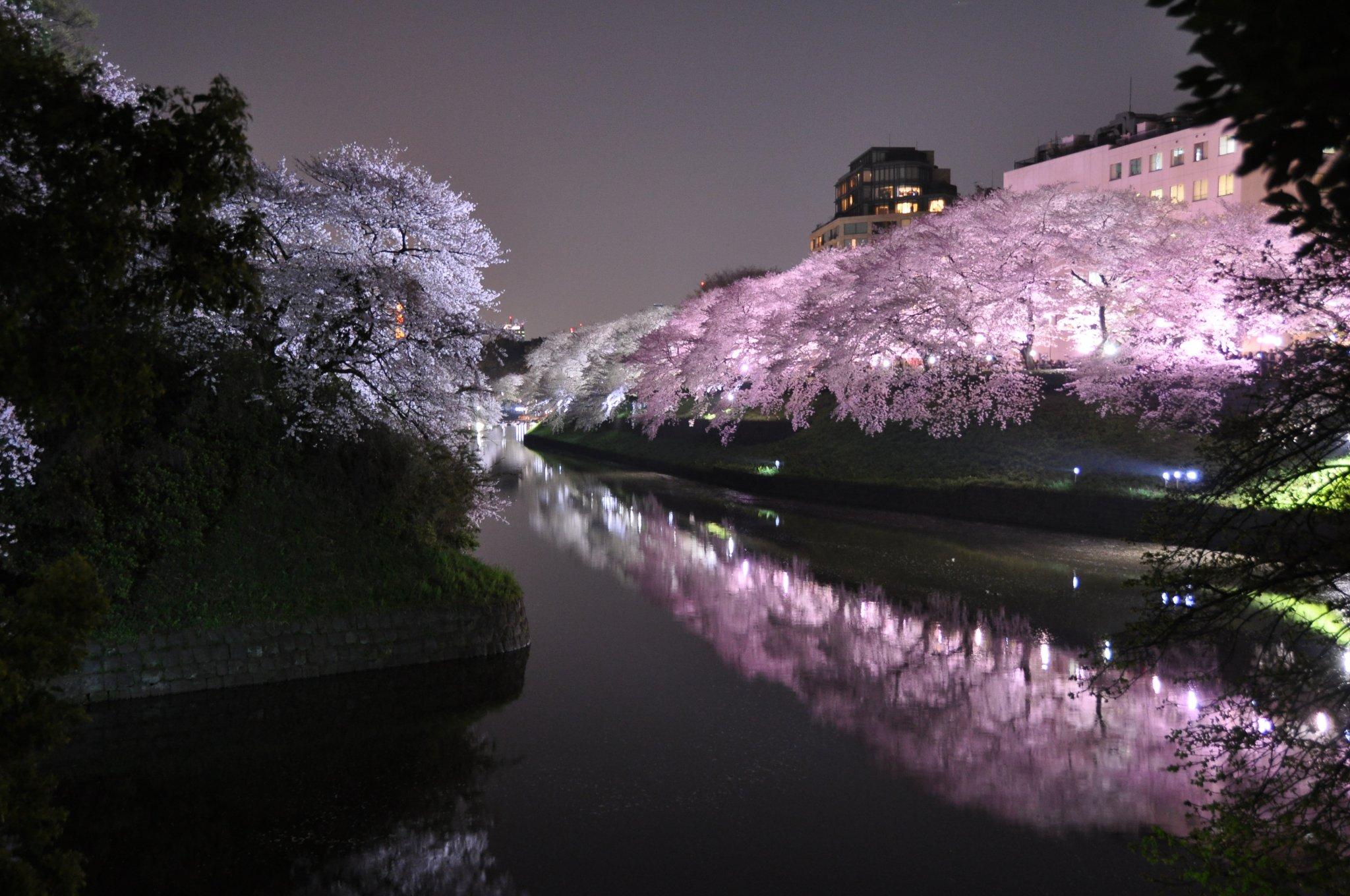 """Képtalálat a következőre: """"japanese cherry tree special foto"""""""
